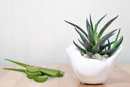 luftverbessernde Plfanze Aloe Vera