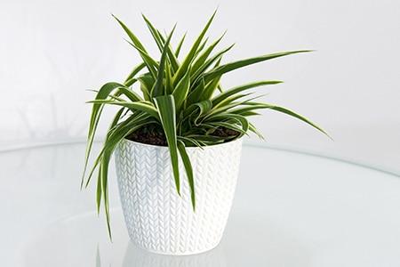 Pflanze Grünlilie agiert als Luftreiniger
