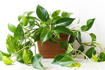 Efeu - Efeutute Zimmerpflanze